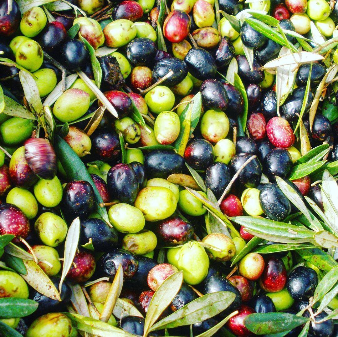 Aceitunas recogidas en Moulay Idriss